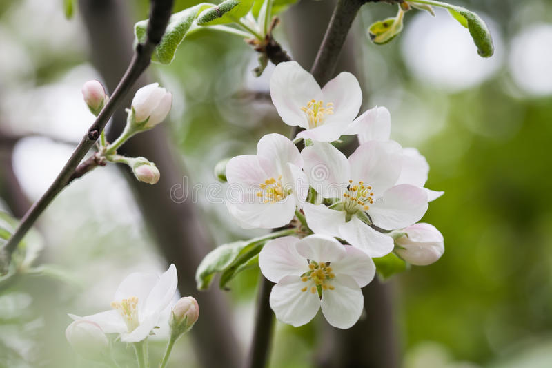 Apple flowers macro view. Blooming fruit tree. pistil, stamen, petal detailed image. Spring nature landscape. Soft stock photos