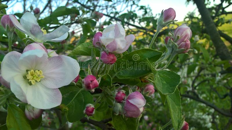 Apple flowers in the spring stock image