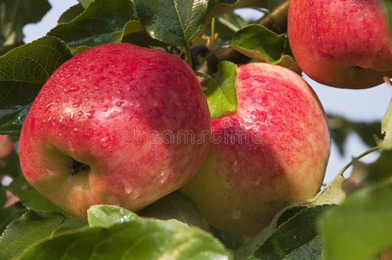 Apple fresco imagem de stock