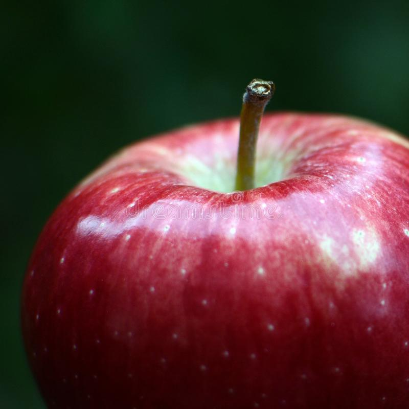 Red apple. Fresh apple in garden stock images