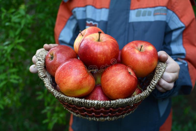 Apples in basket. Fresh apple in garden good harvest royalty free stock photography