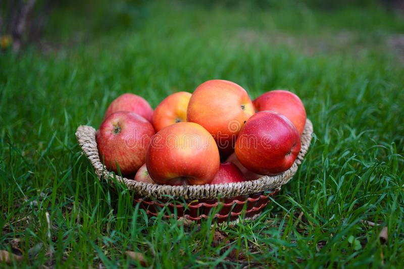 Red apples in basket. On grass royalty free stock images
