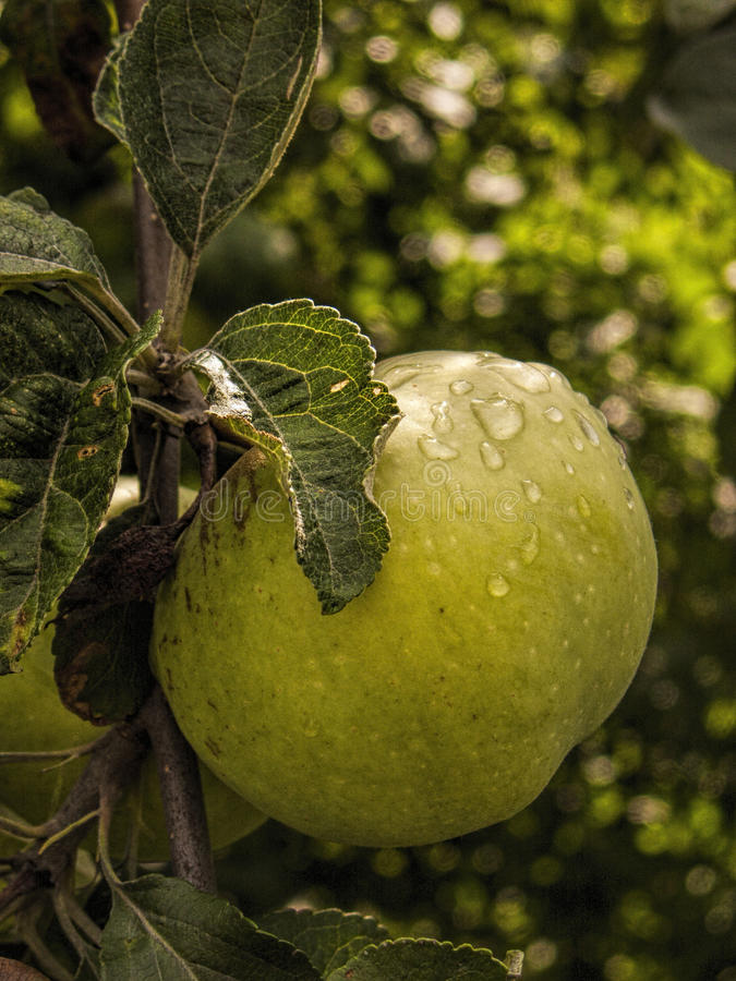 Apple fruit with droplets stock image