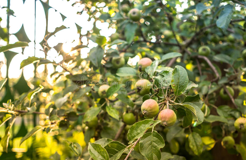 Apple fruktträdgård i solskenet på solnedgången royaltyfria foton