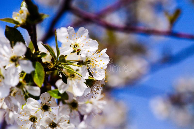 Apple garden, blossom on tree. Flowering orchard in spring time. Seasonal background. Flowering orchard in spring time. Scenic stock photo