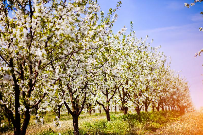 Apple garden, blossom on tree. Flowering orchard in spring time. Seasonal background. Flowering orchard in spring time. Scenic. Image of trees in dramatic stock images