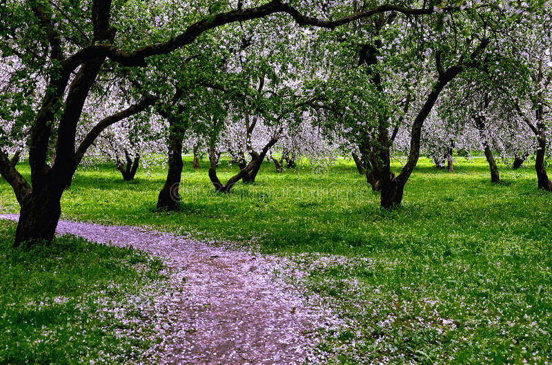 Apple Garden Blossoming in May royalty free stock photography