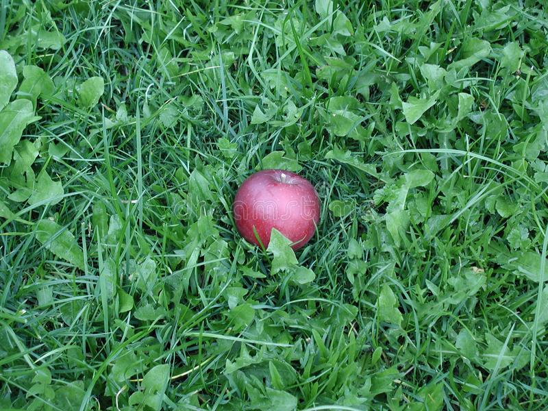 Apple in Gras stock afbeeldingen