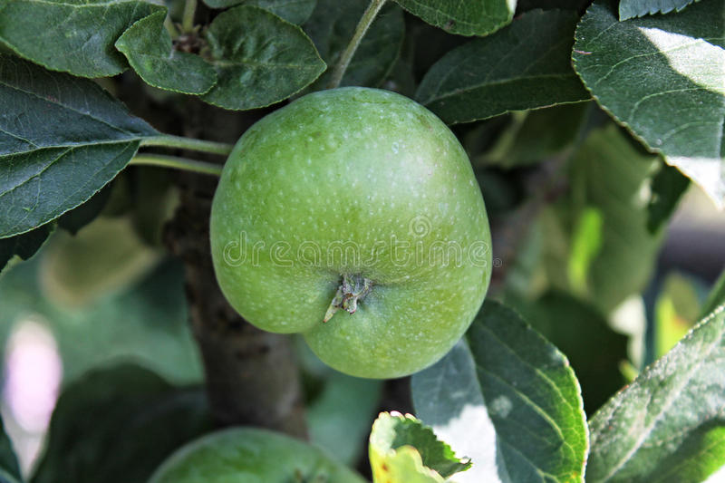 Apple. A green apple growing in a tree royalty free stock photography