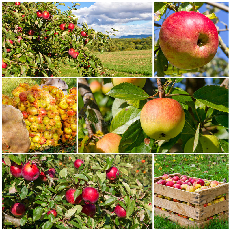 Apple harvest collage royalty free stock photo