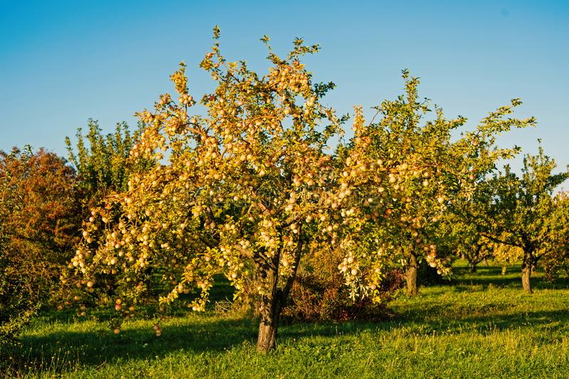 Apple harvest concept. Apple garden nature background sunny autumn day. Gardening and harvesting. Fall apple crops. Organic natural fruits. Apple tree with ripe stock photo