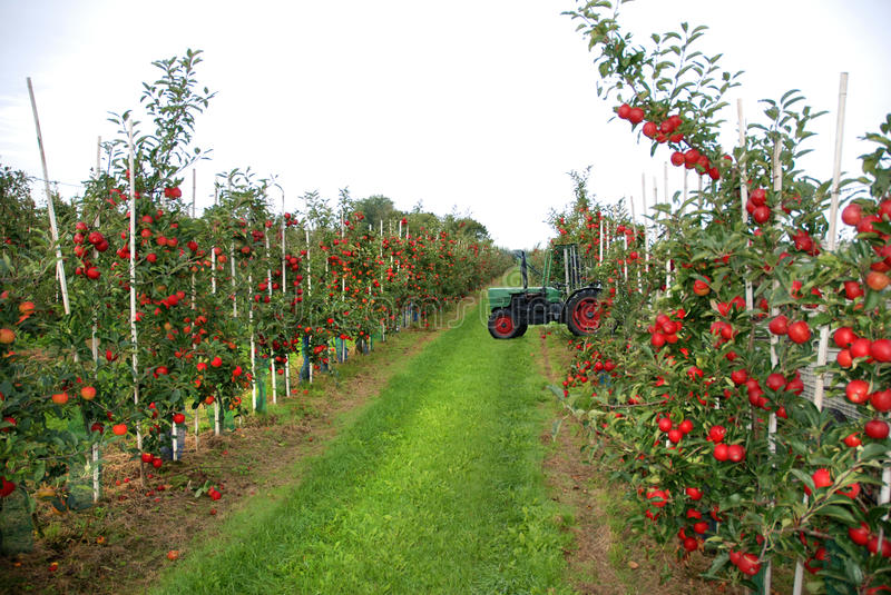 Apple harvest royalty free stock photography