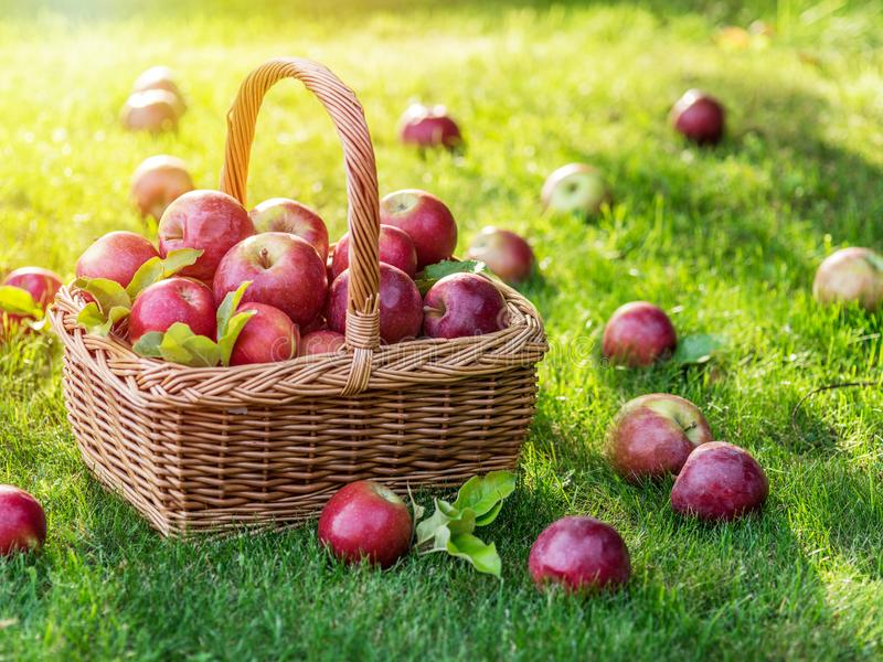 Apple harvest. Ripe red apples in the basket on the green grass. stock photo