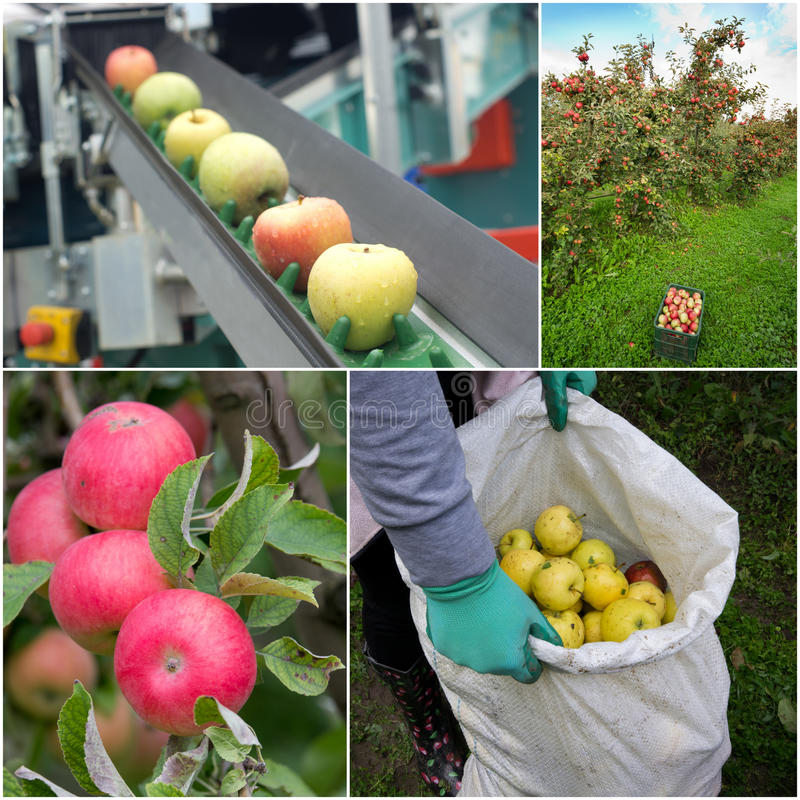 Apple harvesting collage stock photos
