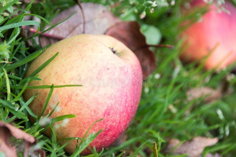 Apple im Gras, gerade gefallen vom Baum lizenzfreies stockbild