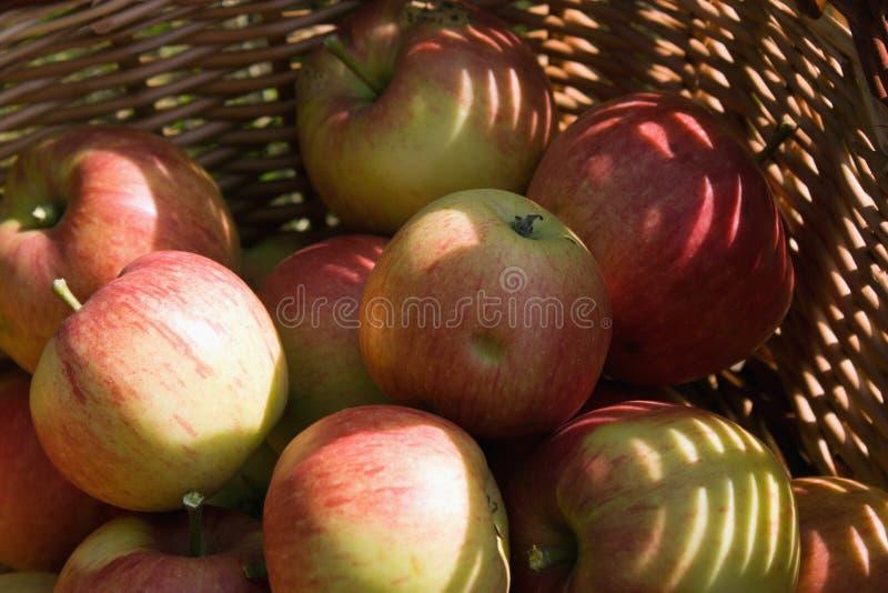 Apple, James Grieve fotos de stock royalty free