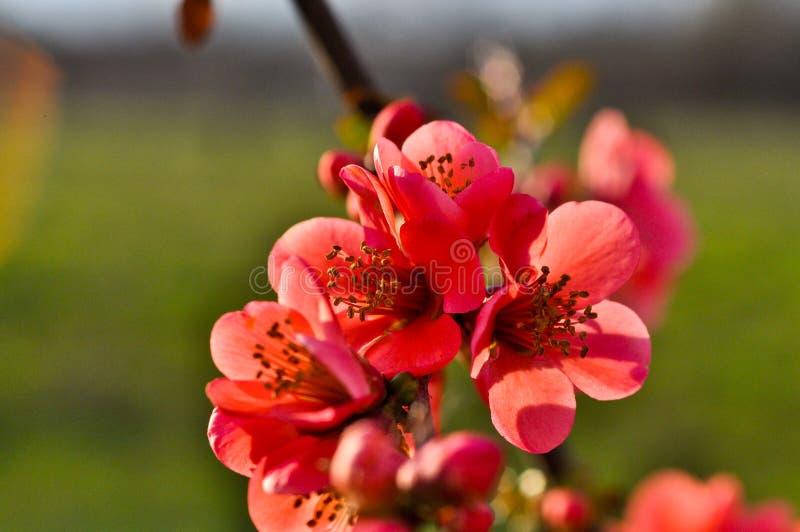 Apple-Japaner, Garten, Frühling lizenzfreie stockfotos