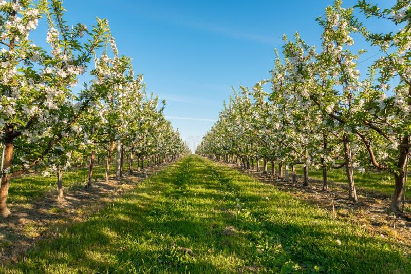 Apple jardina flor fotos de stock