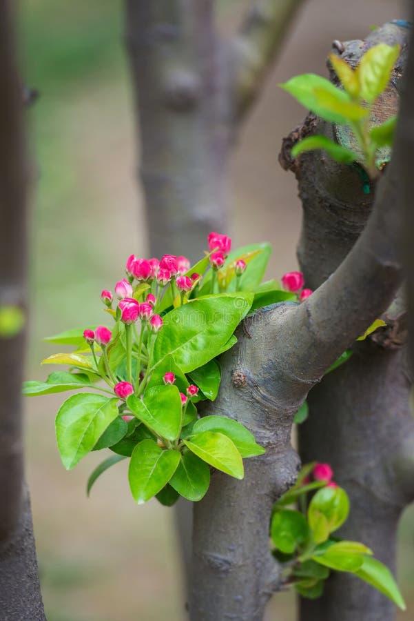 Apple lövruskor laden med att blomma floreten på våren arkivbild