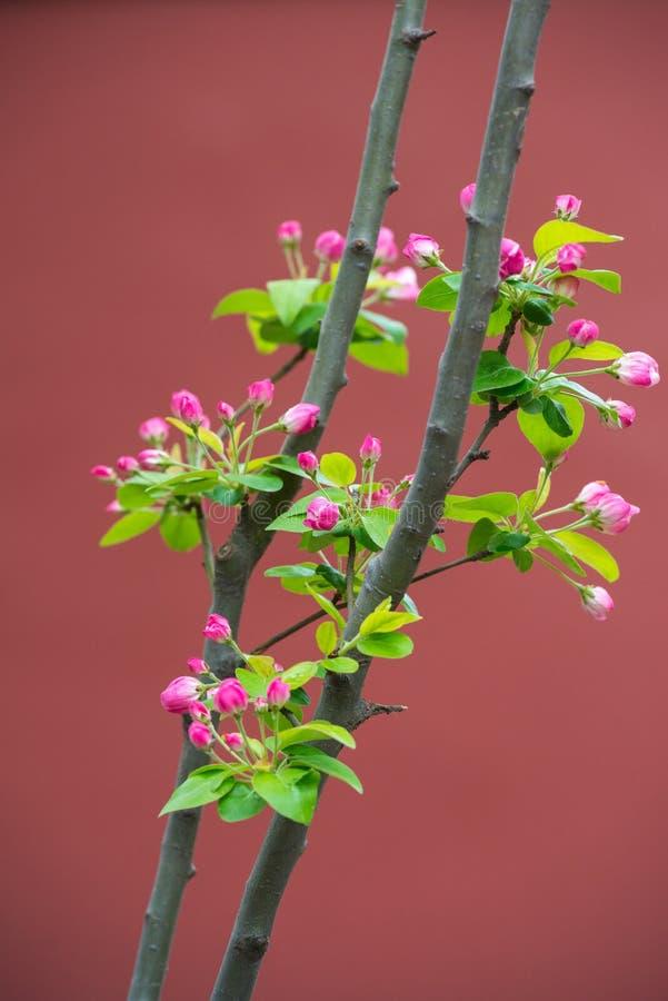 Apple lövruskor laden med blomningen isolerar på våren på röd bakgrund arkivfoto