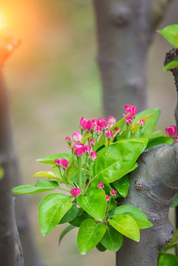 Apple lövruskor laden med blomningen och solstrålar på våren arkivbild