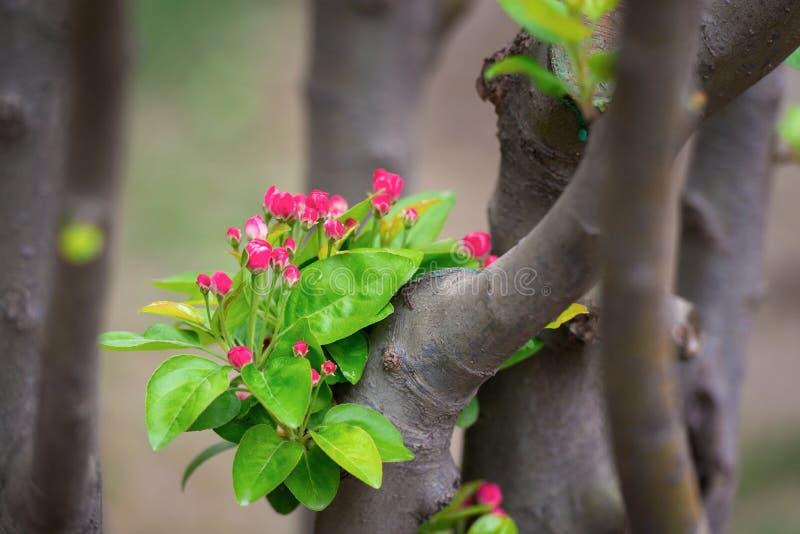 Apple lövruskor laden med blomningen på våren, closeup royaltyfri foto