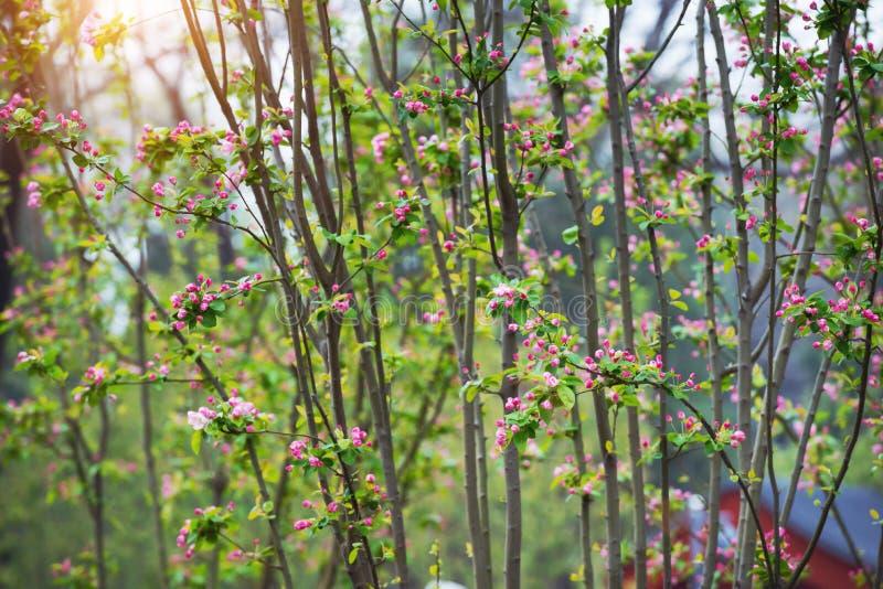 Apple lövruskor laden med blomningen på våren arkivfoton