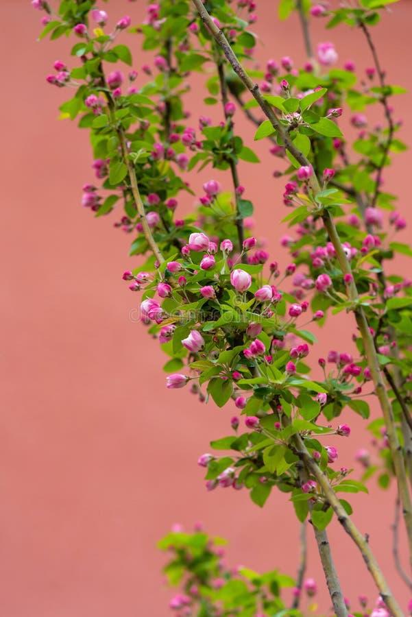 Apple lövruskor laden med blomningen på våren med röd bakgrund royaltyfria bilder