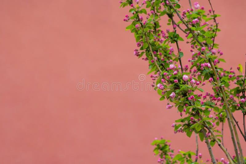 Apple lövruskor laden med blomningen på våren på rött bakgrunds- och kopieringsutrymme arkivbilder