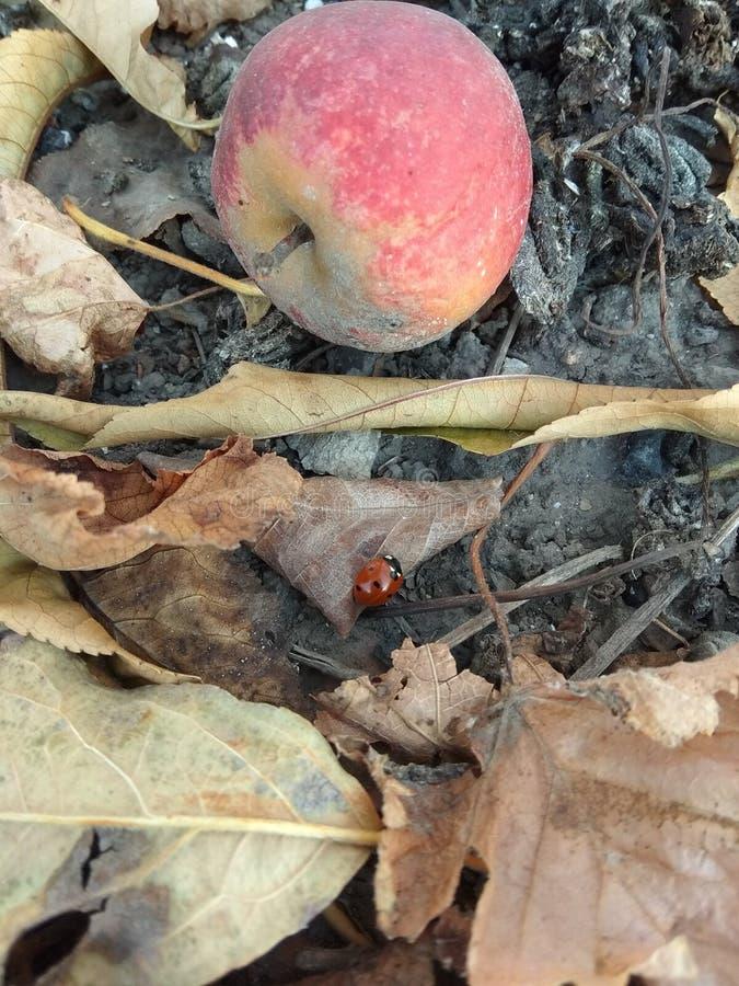 Apple and ladybird stock photography
