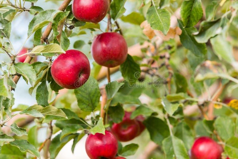 Apple lantgård arkivfoton