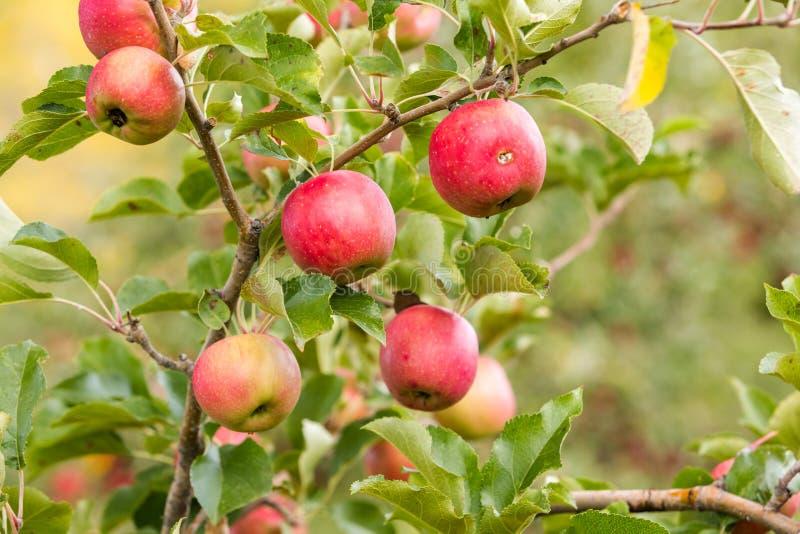 Apple lantgård royaltyfria foton