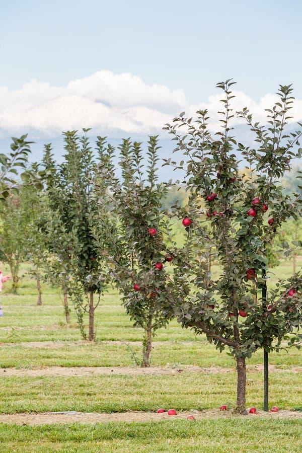 Apple lantgård royaltyfri bild