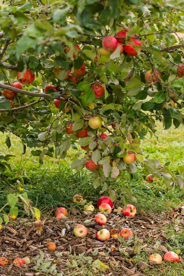Apple lantgård royaltyfri foto