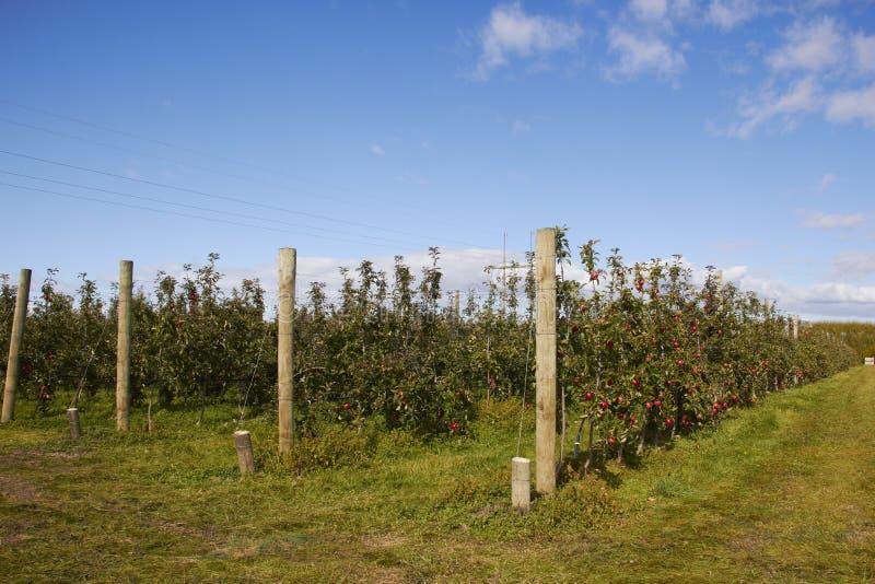 Apple lantgård i Nya Zeeland royaltyfri fotografi