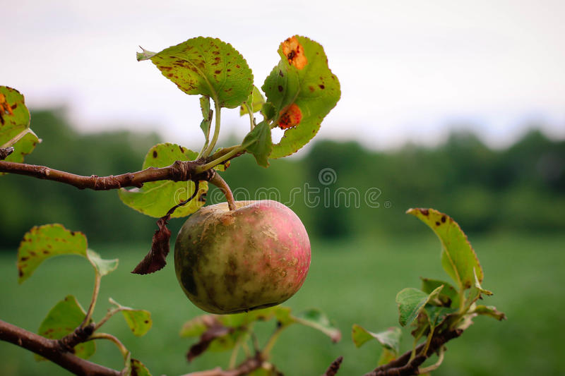 Apple in the late summer. This image is of an apple tree in the Midwest. As you can see the harsh summer heat has made the apple less than perfect. An image of royalty free stock photos