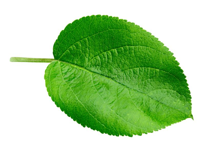 Apple leaf isolated royalty free stock photo