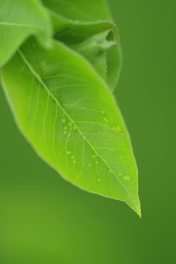 Free Apple Leaf With Aphid Stock Photo - 11408150