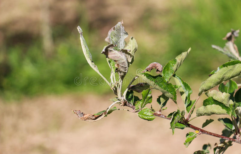 Apple leaves infected and damaged by fungus disease powdery mildew royalty free stock photography