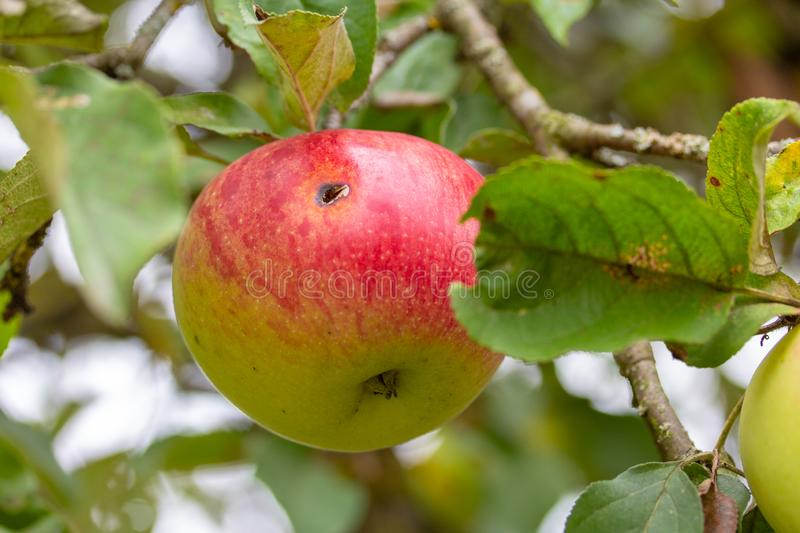 In this Apple lives a worm, so it is grown without the use of pe stock photos