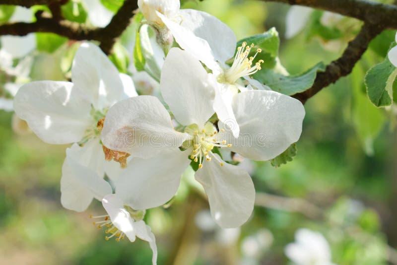 Apple lub bonkret okwitni?cia Biali kwiaty drzewo w wczesnej wio?nie obrazy stock