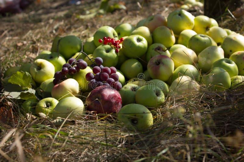 Apple moissonnent avec des raisins et le viburnum sur le trave Le soleil d'Osennee brille admirablement le fruit photos libres de droits