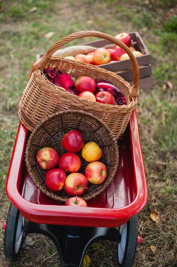 Apple moissonnent les pommes rouges mûres dans le panier sur l'herbe verte photo libre de droits
