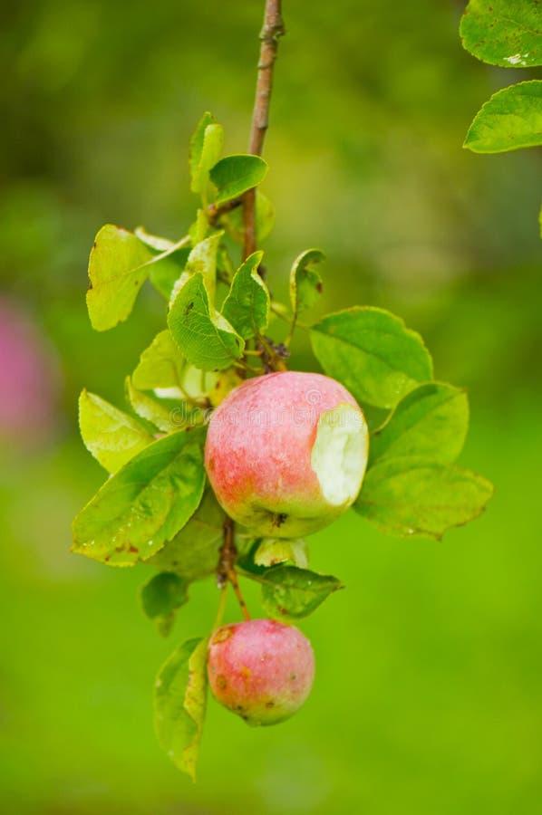 Apple mordido en árbol fotos de archivo libres de regalías
