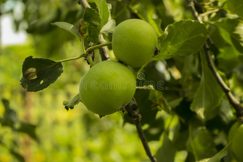 Apple na jabłoniach w ogródzie zdjęcie stock