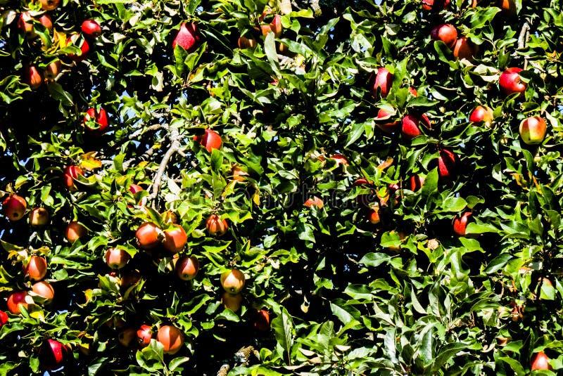 Apple nell'albero fotografia stock