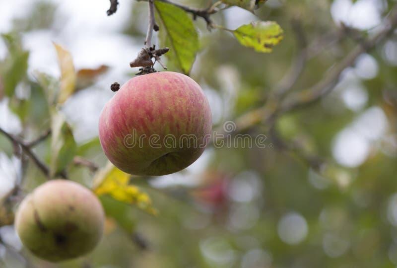 Apple no appletree fotografia de stock