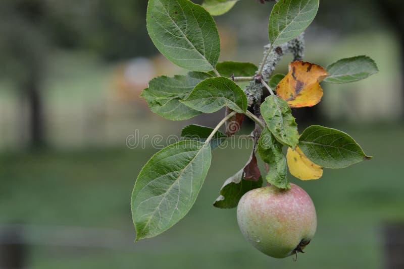 Apple no ramo no jardim imagem de stock