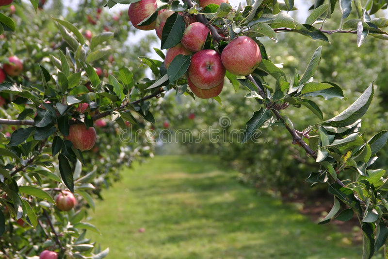 Apple-Obstgarten lizenzfreie stockfotografie