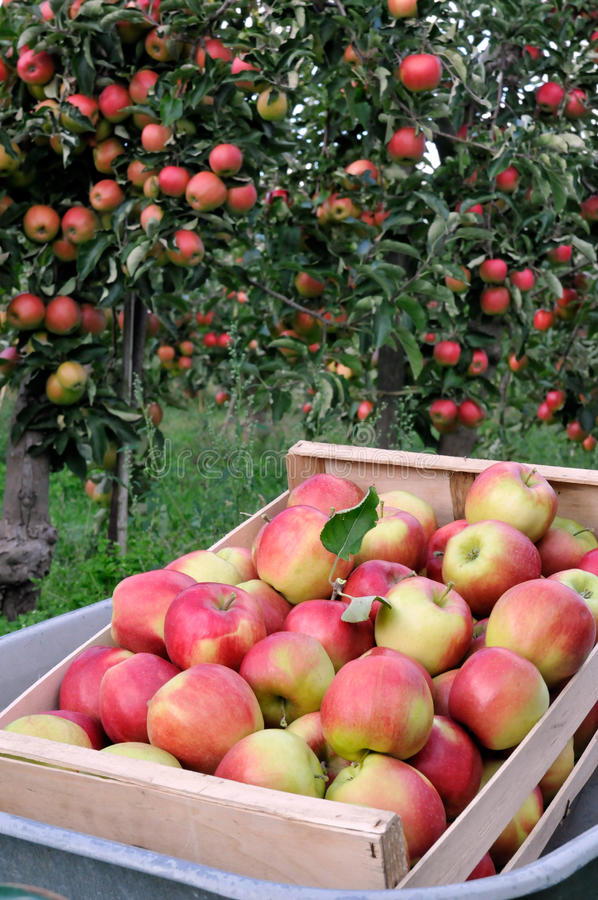 Apple-Obstgarten stockfoto